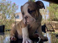 English Bulldog Puppies for sale in El Paso, TX, USA. price: NA