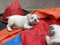 English Bulldog Puppies for sale in 727 E 84th Pl, Los Angeles, CA 90001, USA. price: NA