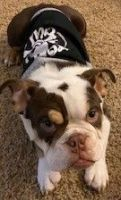 English Bulldog Puppies for sale in Oceanside, CA, USA. price: NA