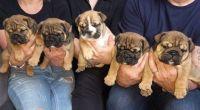 English Bulldog Puppies for sale in Miami Beach, FL, USA. price: NA