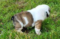 English Bulldog Puppies for sale in Branson, MO 65616, USA. price: NA