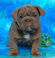 English Bulldog Puppies for sale in Dubia Rd, North Pole, AK 99705, USA. price: NA