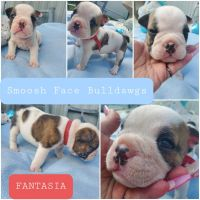 English Bulldog Puppies for sale in Hummelstown, PA 17036, USA. price: NA