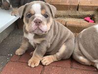 English Bulldog Puppies for sale in Dallas, TX, USA. price: NA