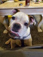 English Bulldog Puppies for sale in Albuquerque, NM, USA. price: NA