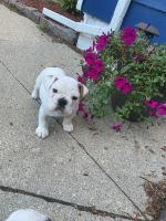 English Bulldog Puppies for sale in Toledo, OH, USA. price: NA