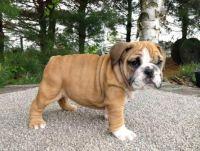 English Bulldog Puppies for sale in Reno County, KS, USA. price: NA