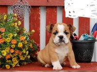 English Bulldog Puppies for sale in Houston, TX, USA. price: NA