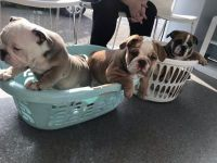 English Bulldog Puppies for sale in Indianapolis, IN, USA. price: NA