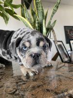 English Bulldog Puppies for sale in Chula Vista, CA 91911, USA. price: NA