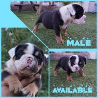 English Bulldog Puppies for sale in Anaheim, CA, USA. price: NA
