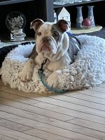 English Bulldog Puppies for sale in Lancaster, CA, USA. price: NA