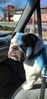 English Bulldog Puppies for sale in Raleigh, NC, USA. price: NA