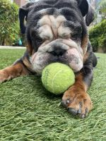 English Bulldog Puppies for sale in West Los Angeles, Los Angeles, CA, USA. price: NA