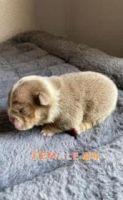 English Bulldog Puppies for sale in Las Vegas, NV, USA. price: NA