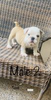 English Bulldog Puppies for sale in Laredo, TX, USA. price: NA