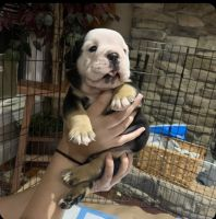 English Bulldog Puppies for sale in Moreland Hills, OH 44022, USA. price: NA