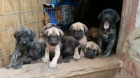 English Mastiff Puppies for sale in Anthony, KS 67003, USA. price: NA