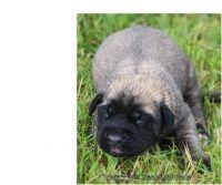 English Mastiff Puppies for sale in Burbank, CA, USA. price: NA