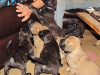 English Mastiff Puppies for sale in Marion, AR 72364, USA. price: NA