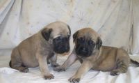 English Mastiff Puppies for sale in Little Rock, AR, USA. price: NA