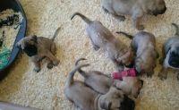 English Mastiff Puppies for sale in Round Rock, TX, USA. price: NA