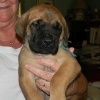 English Mastiff Puppies for sale in Abilene, TX, USA. price: NA