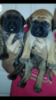 English Mastiff Puppies for sale in Cottonwood, CA 96022, USA. price: NA