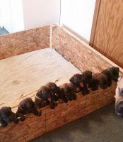 English Mastiff Puppies for sale in Saginaw, MI, USA. price: NA