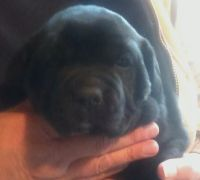 English Mastiff Puppies for sale in Plymouth, IN 46563, USA. price: NA