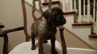 English Mastiff Puppies for sale in Vancouver, WA, USA. price: NA