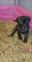 English Mastiff Puppies for sale in Cumberland, VA 23040, USA. price: NA