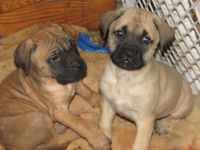 English Mastiff Puppies for sale in Worcester, MA, USA. price: NA