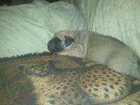 English Mastiff Puppies for sale in Heflin, AL 36264, USA. price: NA