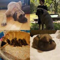 English Mastiff Puppies for sale in San Antonio, TX, USA. price: NA