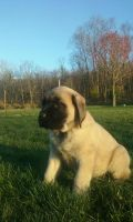 English Mastiff Puppies for sale in Blain, PA 17006, USA. price: NA
