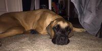 English Mastiff Puppies for sale in Woodbridge, VA 22191, USA. price: NA