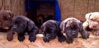 English Mastiff Puppies for sale in Dallas, TX, USA. price: NA