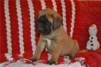 English Mastiff Puppies for sale in Houston, TX, USA. price: NA