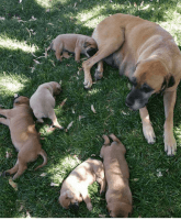 English Mastiff Puppies for sale in Bakersfield, CA, USA. price: NA