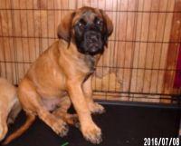 English Mastiff Puppies for sale in Mobile, AL, USA. price: NA