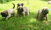 English Mastiff Puppies for sale in Reno, NV, USA. price: NA