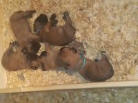 English Mastiff Puppies for sale in Colorado Springs, CO, USA. price: NA