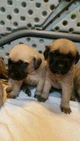 English Mastiff Puppies for sale in Cedar Rapids, IA, USA. price: NA