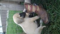 English Mastiff Puppies for sale in Pittsburgh, PA, USA. price: NA