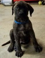 English Mastiff Puppies for sale in Columbus, OH, USA. price: NA