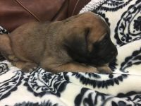 English Mastiff Puppies for sale in Madisonville, TX 77864, USA. price: NA