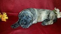 English Mastiff Puppies for sale in Dunnellon, FL 34431, USA. price: NA