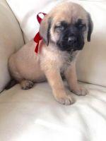 English Mastiff Puppies for sale in Atlanta, GA, USA. price: NA