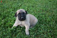 English Mastiff Puppies for sale in Branch, MI 49402, USA. price: NA